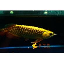广州呈千祥龙鱼贸易  H699  24K纯金头大金头过背金龙鱼