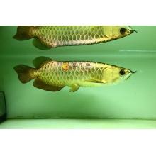 广州呈千祥龙鱼,编号B228,金头全过背,金质很强,鱼很漂亮