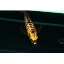 广州呈千祥龙鱼贸易 H399 极品金龙鱼 金头过背高背b过蓝底古典炮弹头重金属梦幻