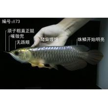 【龙鱼之家】 H73 武吉美拉蓝底过背金龙