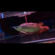 《浩瀚水族》23公分翘头大鳍尾印尼纯血红龙