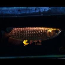 呈千祥龙鱼,编号w598,极品古典蓝底大金头全过背,金质很强,鱼很漂亮,33公分左右