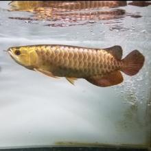 【富鸿水族】展厅4#过背金龙鱼,30公分左右,详情请关注微信