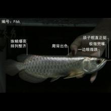 【龙鱼之家】 F66 武吉美拉蓝底过背金龙