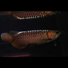 【尚品龍魚】原生種古典金