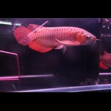 《浩瀚水族》33公分紫艳红龙发色很不错