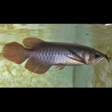 特别推荐,一字背,天王至尊红龙1533号,27公分,腮盖已开始发色,高亮干净的鳞片,深红的嘴巴和超大七鳍,纯天然无添加印尼红龙。