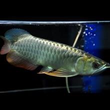 【铭龙渔场】小金头 26公分 宽身大尾巴 编号#021807