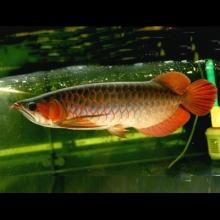 【广州龙威】印尼超级红龙,尺寸33cm。保证发色