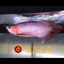 赛级短身娇艳超血红龙,也是极品印尼坤甸上游龙种,35cm,价高
