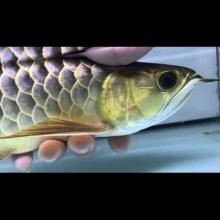 35-36cm.新加坡纯血统原生态古典过背.平头.超厚金粉底.细框.尾部喷金粉.玩金质和血统货的来.5800