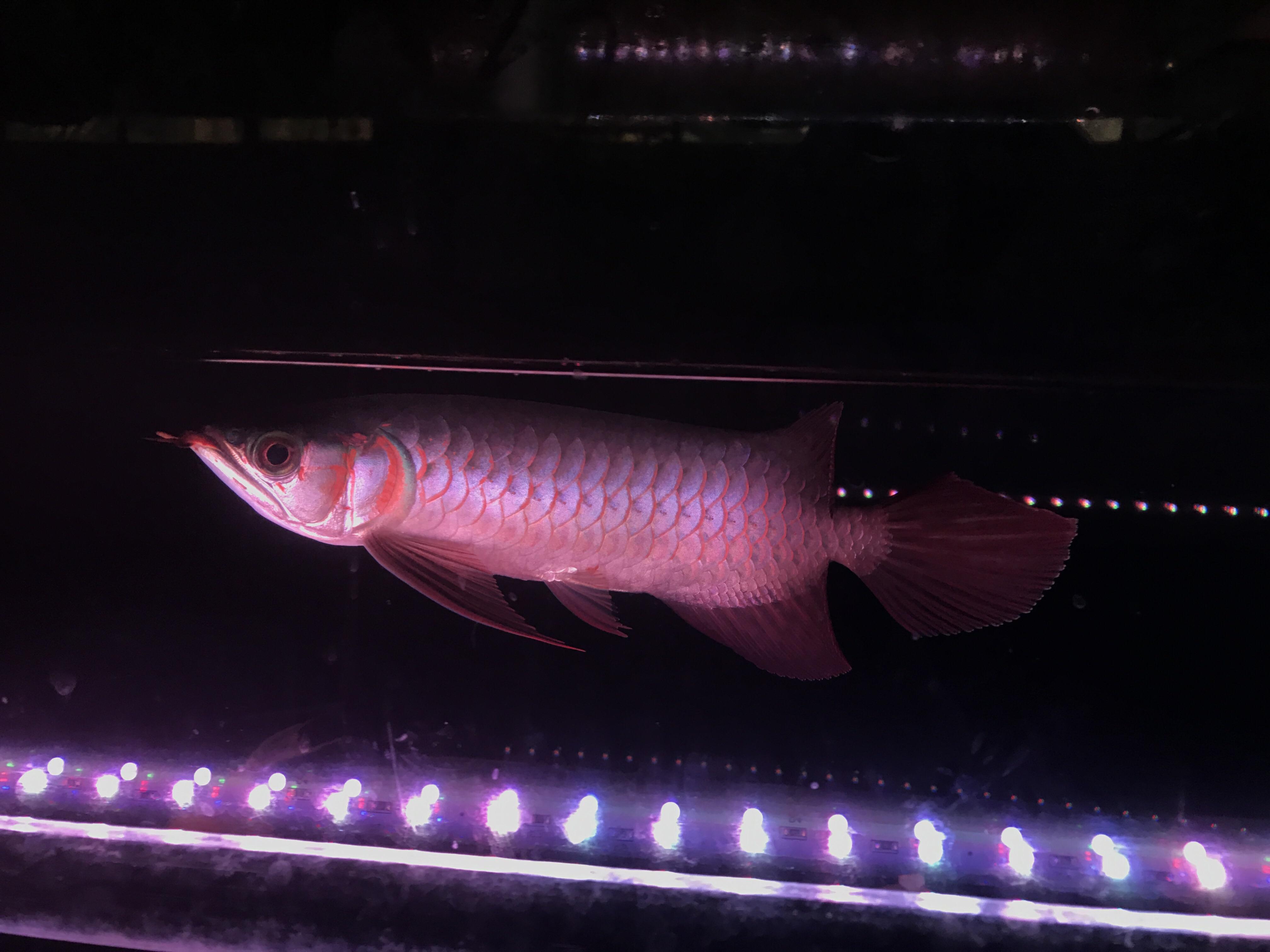 特价出售28公分血艳红龙,超大尾巴,下滑胸鳍
