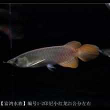 【富鸿水族】编号1-2印尼精品小红龙鱼21公分左右
