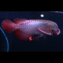 广州呈千祥龙鱼贸易、编号N78 28公分左右 印尼超血王中红龙、霸气、体型一流、证书芯片齐全