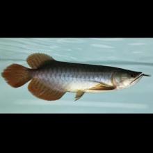 天王至尊红龙1602号,25公分,大翘头,战车体型,深红的七鳍,鳃盖已经开始发出正红的颜色,干净的鳞底,纯天然无添加印尼红龙