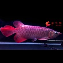 广州呈千祥龙鱼贸易,【选鱼可以视频通话直接看鱼】,魟鱼,皇冠黑白,龙鱼,金龙鱼,红龙鱼,24K,金盔,过背,古典蓝底,炮弹头,重金属,辣椒,血麒麟,血红龙,超血红龙。微信电话13332839240啊超