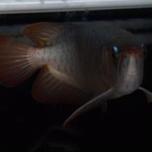【精品龙鱼专售】金属红血红龙