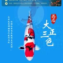 【春惠行动】进口大正日本锦鲤