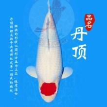 【春惠行动】进口丹顶日本锦鲤