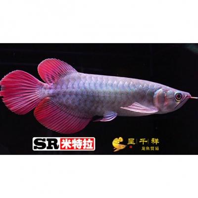 w广州呈千祥龙鱼贸易 SR米特拉红龙