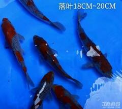 落叶锦鲤活体 日本进口锦鲤 红白丹顶昭和观赏鱼
